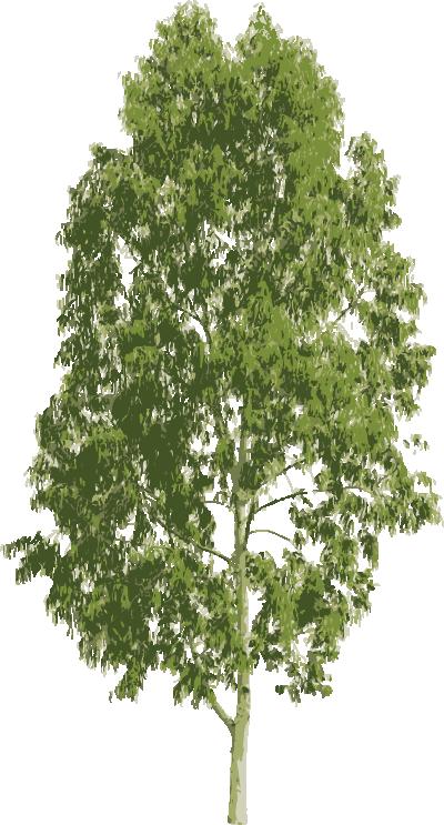 arbol-eucalipto