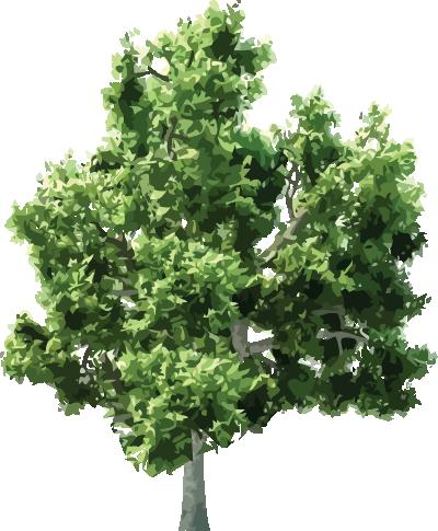 arbol-encino-blanco