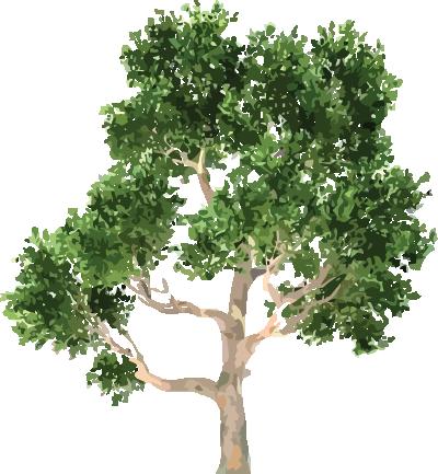 arbol-tejocote